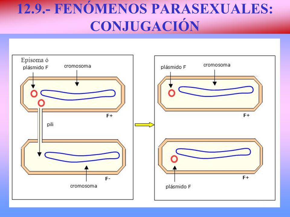 12.9.- FENÓMENOS PARASEXUALES: CONJUGACIÓN Episoma ó
