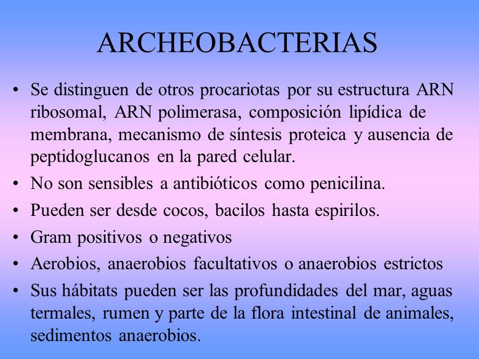 ARCHEOBACTERIAS Se distinguen de otros procariotas por su estructura ARN ribosomal, ARN polimerasa, composición lipídica de membrana, mecanismo de sín