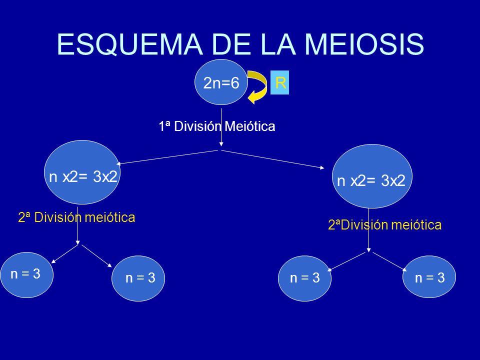 ESQUEMA DE LA MEIOSIS 2n=6 n x2= 3x2 n 2 =6 1ª División Meiótica R 2ªDivisión meiótica n = 3 n x2= 3x2