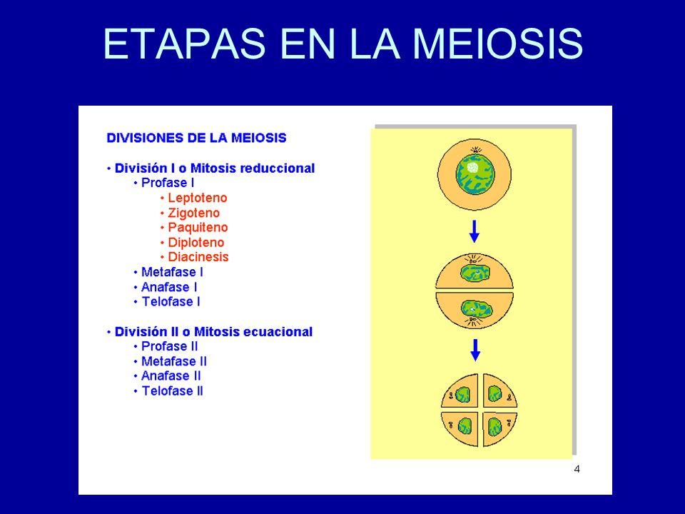 PROFASE I: LEPTOTENE Los cromosomas aparecen como largos filamentos Cada cromosoma ya está formado por dos cromátidas hermanas (La replicación ya ocurrió).