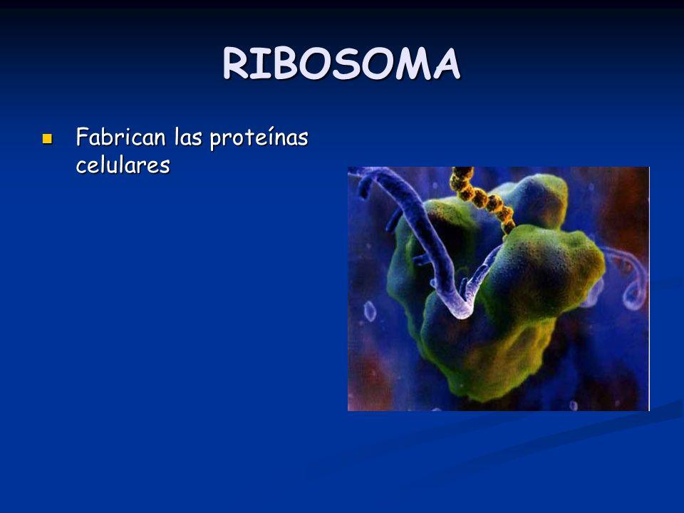 RIBOSOMA Fabrican las proteínas celulares Fabrican las proteínas celulares