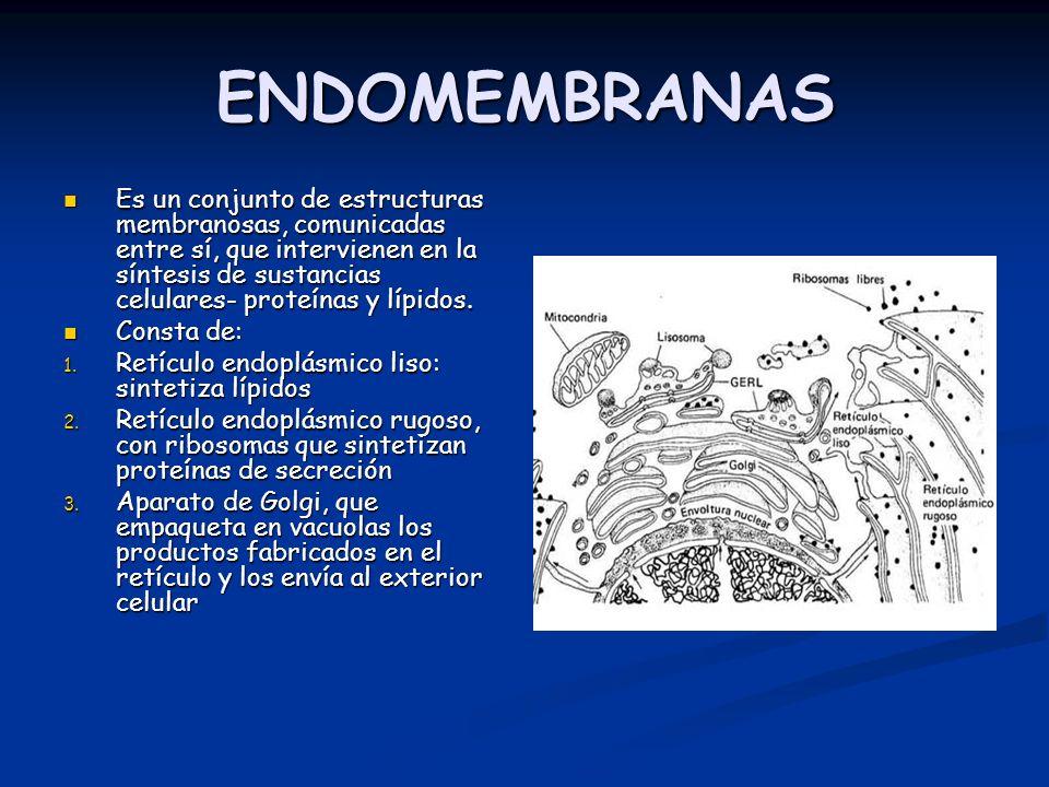 ENDOMEMBRANAS Es un conjunto de estructuras membranosas, comunicadas entre sí, que intervienen en la síntesis de sustancias celulares- proteínas y lípidos.