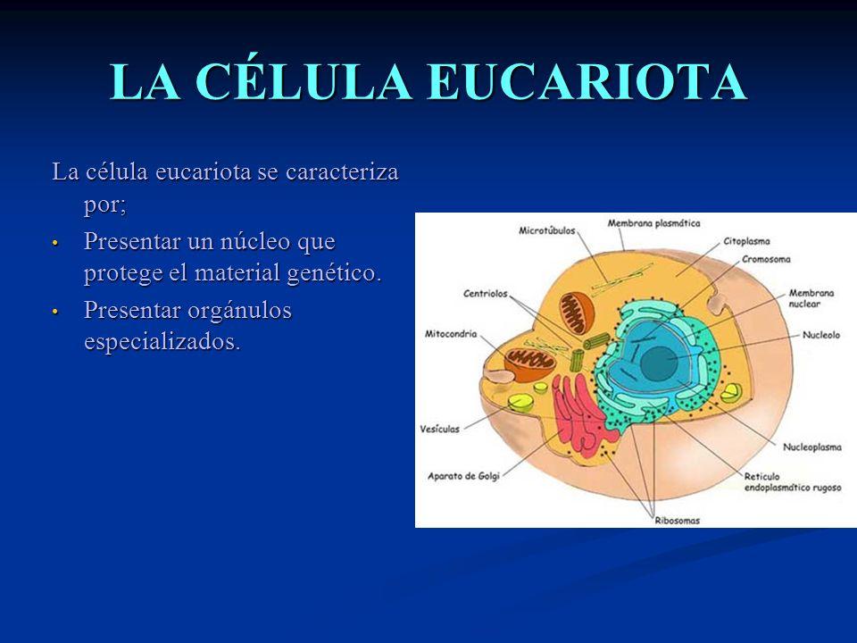 LA CÉLULA EUCARIOTA La célula eucariota se caracteriza por; Presentar un núcleo que protege el material genético. Presentar un núcleo que protege el m
