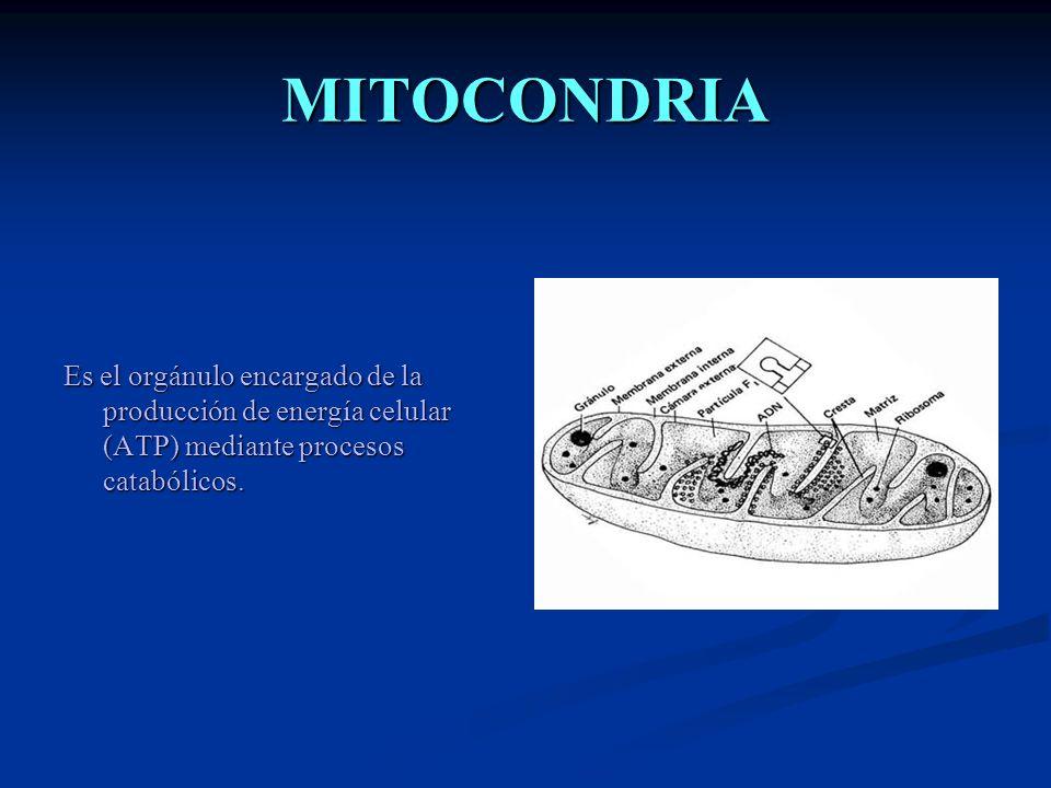 CLOROPLASTO Es un orgánulo vegetal implicado en la fotosíntesis.