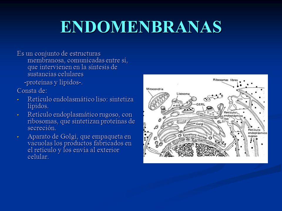 ENDOMENBRANAS Es un conjunto de estructuras membranosa, comunicadas entre sí, que intervienen en la síntesis de sustancias celulares -proteínas y lípi