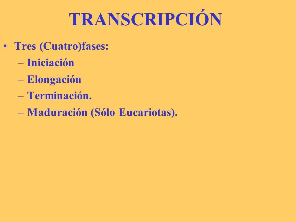 TRANSCRIPCIÓN Tres (Cuatro)fases: –Iniciación –Elongación –Terminación. –Maduración (Sólo Eucariotas).