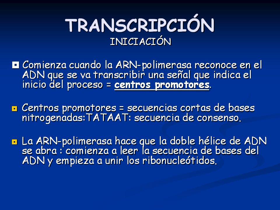 TRANSCRIPCIÓN: ELONGACIÓN Elongación: La síntesis de la cadena de ARN continúa en dirección 5 3 ADN ARN Enzima
