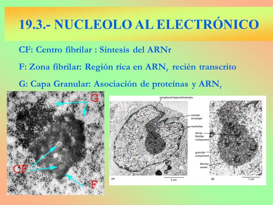 CF: Centro fibrilar : Síntesis del ARNr F: Zona fibrilar: Región rica en ARN r recién transcrito G: Capa Granular: Asociación de proteínas y ARN r 19.
