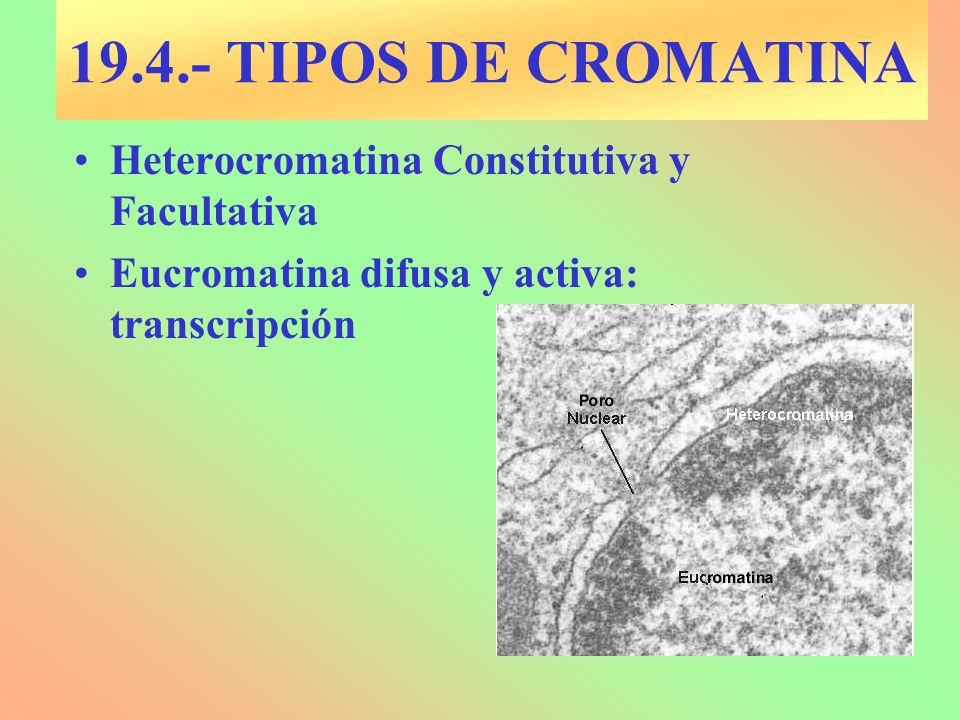 19.4.- TIPOS DE CROMATINA Heterocromatina Constitutiva y Facultativa Eucromatina difusa y activa: transcripción