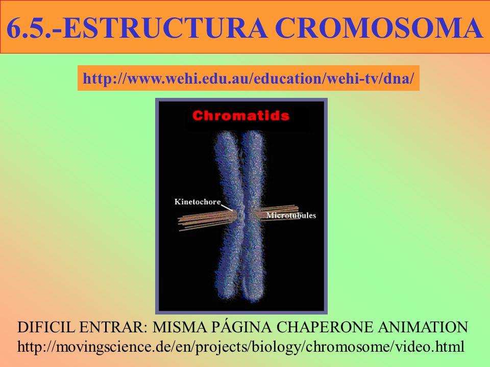 http://www.wehi.edu.au/education/wehi-tv/dna/ DIFICIL ENTRAR: MISMA PÁGINA CHAPERONE ANIMATION http://movingscience.de/en/projects/biology/chromosome/