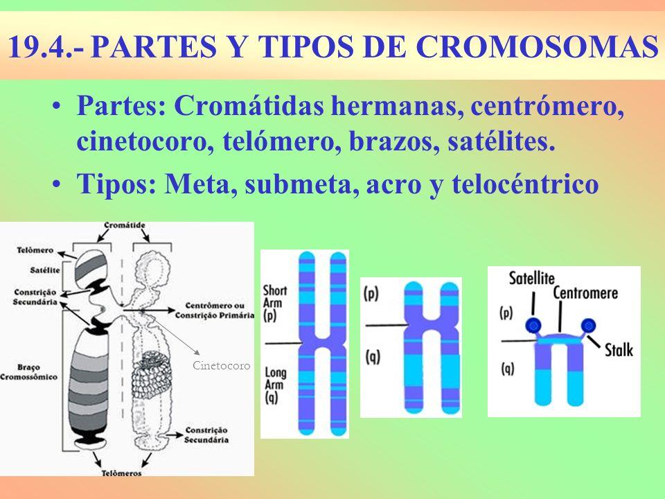 19.4.- PARTES Y TIPOS DE CROMOSOMAS Partes: Cromátidas hermanas, centrómero, cinetocoro, telómero, brazos, satélites. Tipos: Meta, submeta, acro y tel