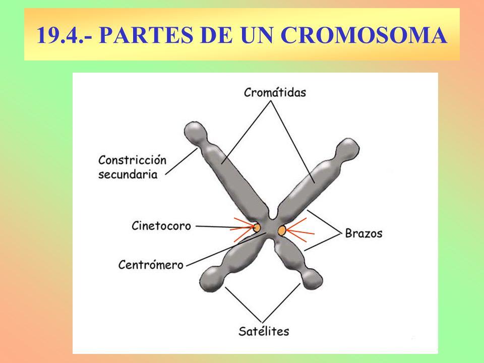 19.4.- PARTES DE UN CROMOSOMA