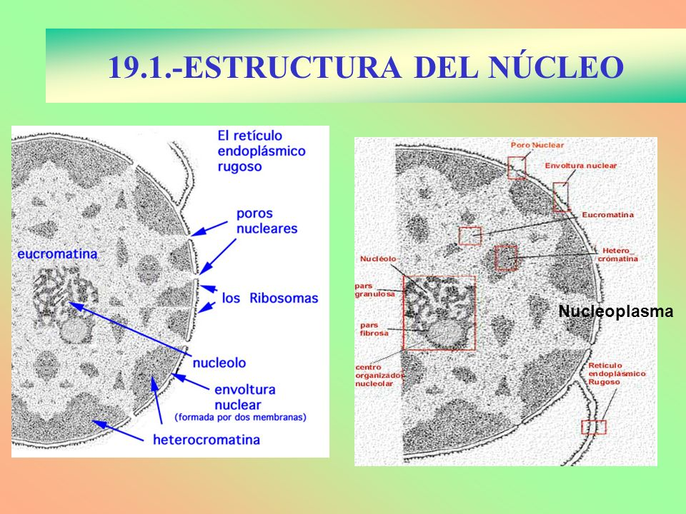 19.2.- MEMBRANA NUCLEAR Procedente del RER Doble membrana Interna con lámina nuclear Verdaderos poros formando El complejo del poro