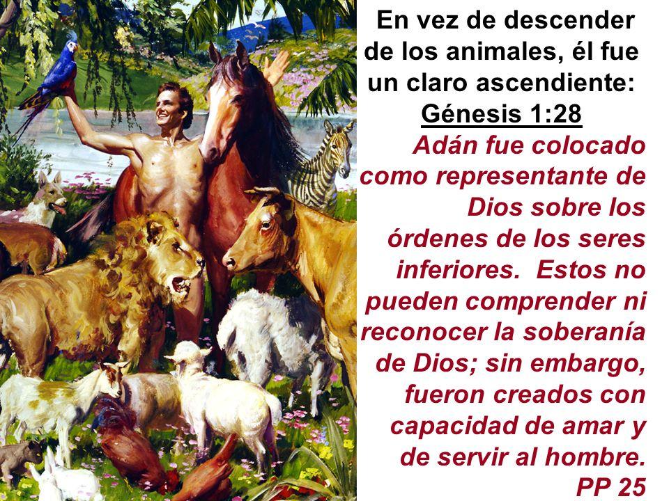 En vez de descender de los animales, él fue un claro ascendiente: Génesis 1:28 Adán fue colocado como representante de Dios sobre los órdenes de los s