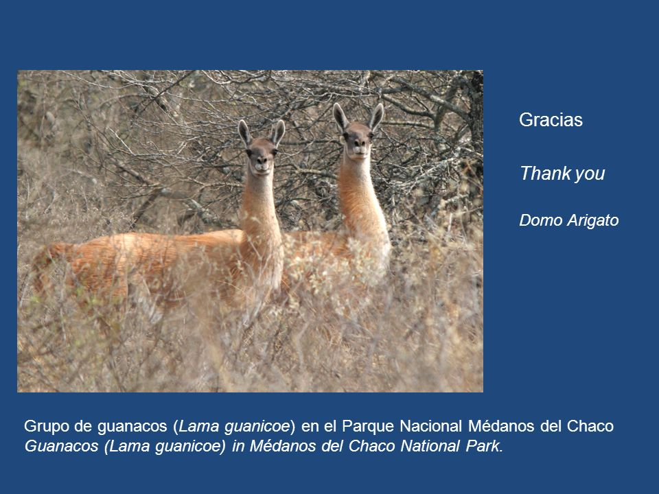 La estrategia estará disponible en www.seam.gov.py Gracias Thank you Domo Arigato Grupo de guanacos (Lama guanicoe) en el Parque Nacional Médanos del