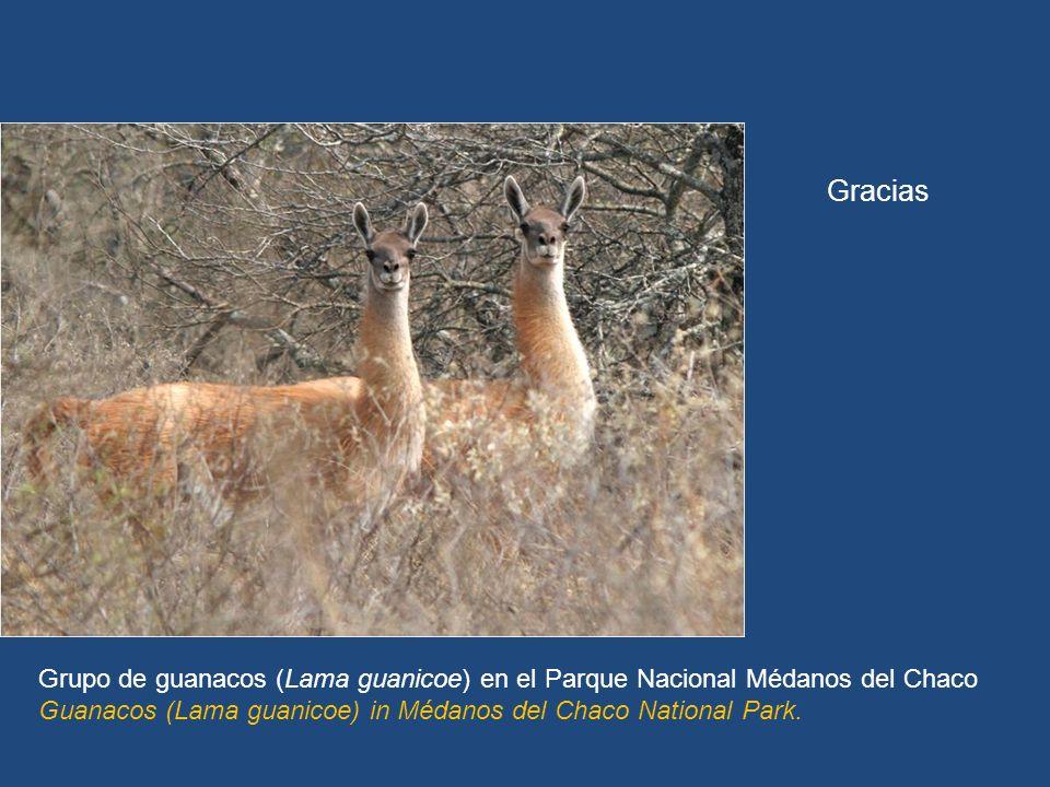 La estrategia estará disponible en www.seam.gov.py Gracias Grupo de guanacos (Lama guanicoe) en el Parque Nacional Médanos del Chaco Guanacos (Lama guanicoe) in Médanos del Chaco National Park.