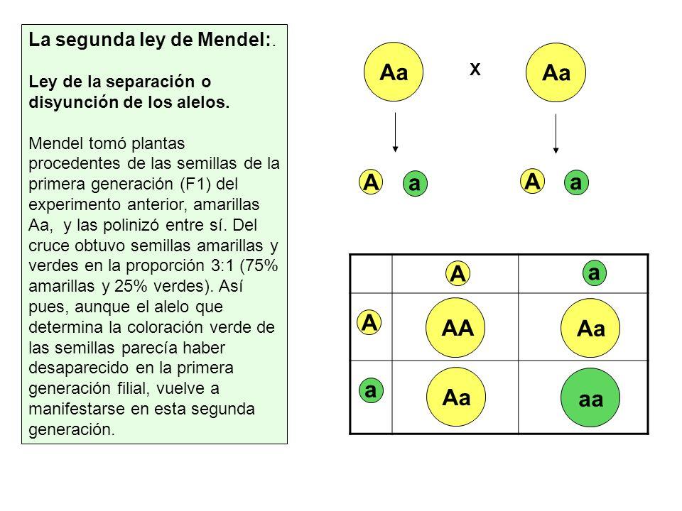 La segunda ley de Mendel:. Ley de la separación o disyunción de los alelos. Mendel tomó plantas procedentes de las semillas de la primera generación (