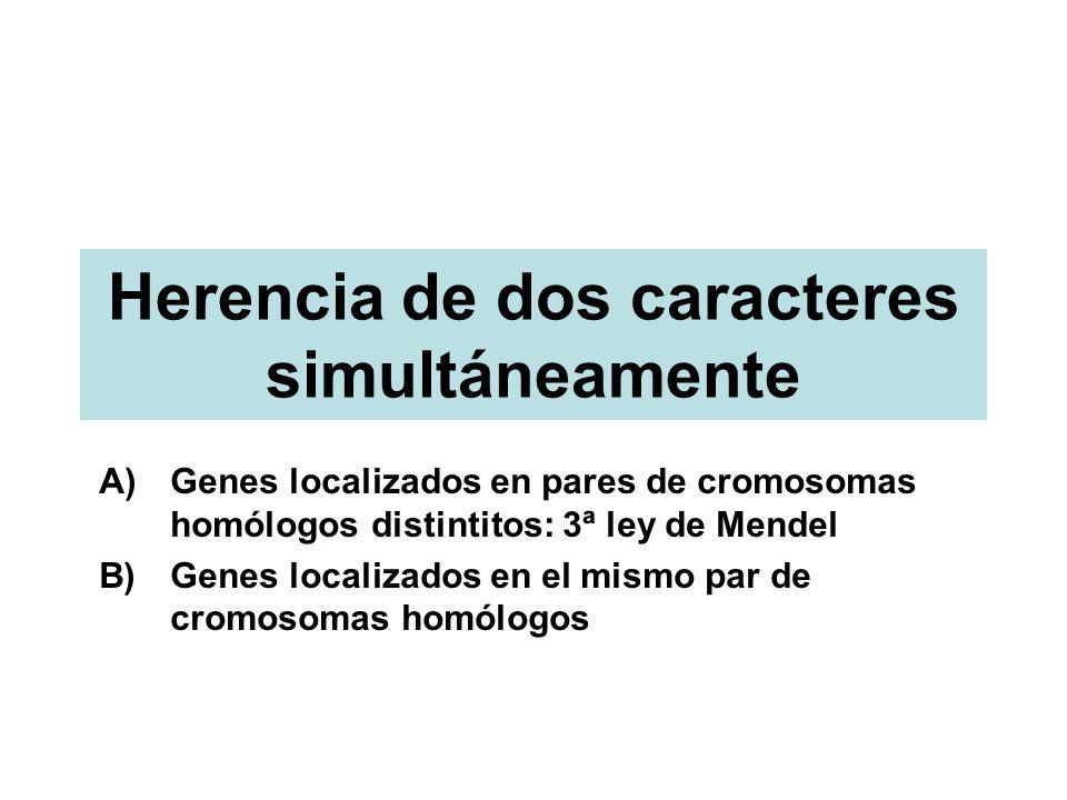 Herencia de dos caracteres simultáneamente A)Genes localizados en pares de cromosomas homólogos distintitos: 3ª ley de Mendel B)Genes localizados en e
