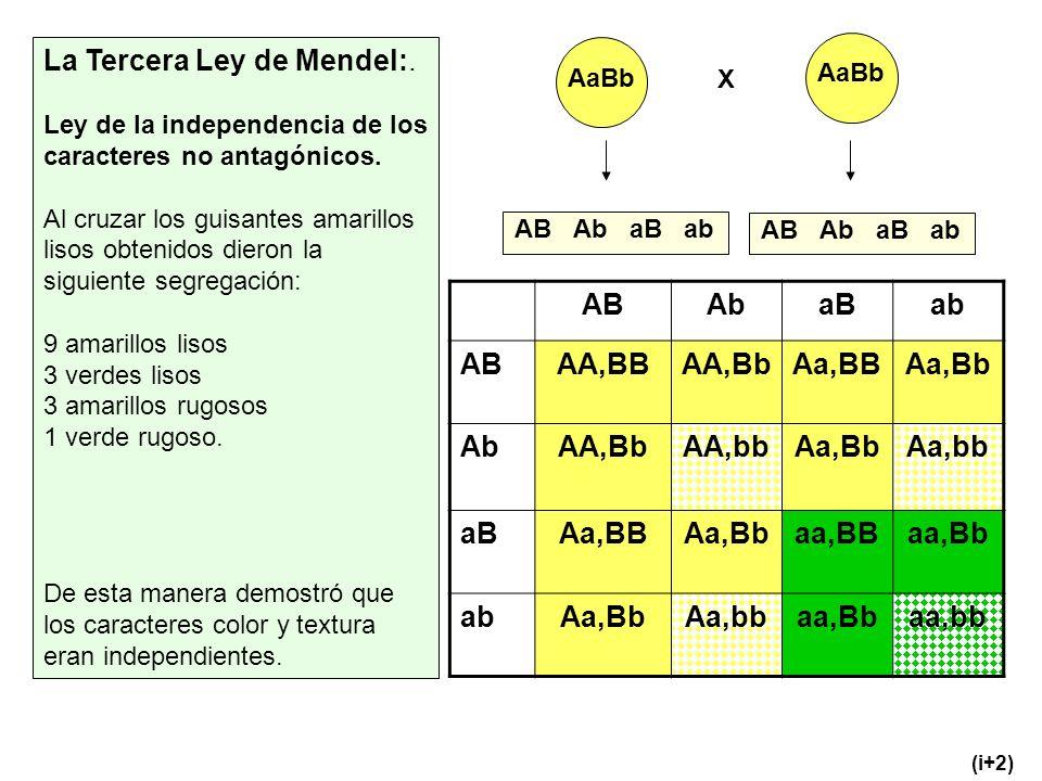 La Tercera Ley de Mendel:. Ley de la independencia de los caracteres no antagónicos. Al cruzar los guisantes amarillos lisos obtenidos dieron la sigui