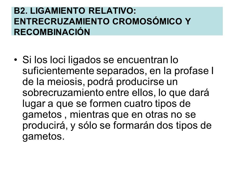 B2. LIGAMIENTO RELATIVO: ENTRECRUZAMIENTO CROMOSÓMICO Y RECOMBINACIÓN Si los loci ligados se encuentran lo suficientemente separados, en la profase I