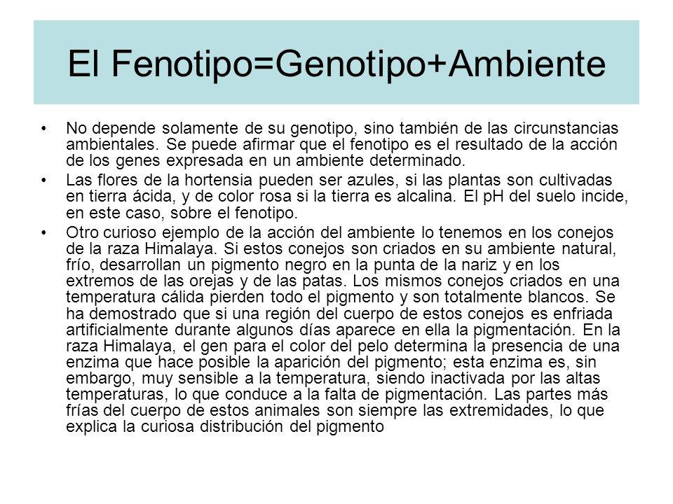 El Fenotipo=Genotipo+Ambiente No depende solamente de su genotipo, sino también de las circunstancias ambientales. Se puede afirmar que el fenotipo es