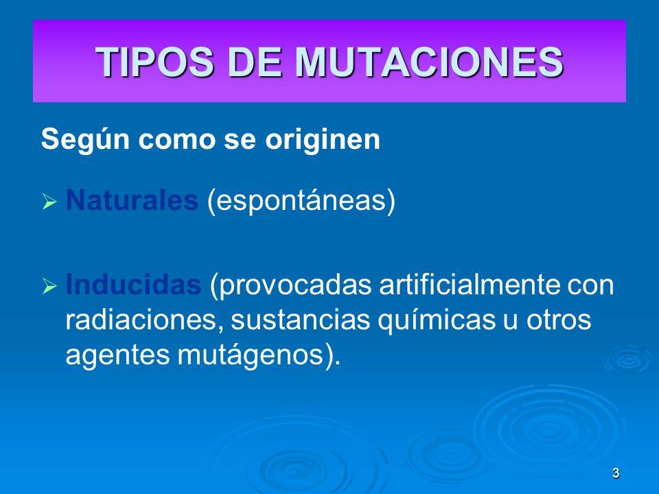3 TIPOS DE MUTACIONES Según como se originen Naturales (espontáneas) Inducidas (provocadas artificialmente con radiaciones, sustancias químicas u otros agentes mutágenos).