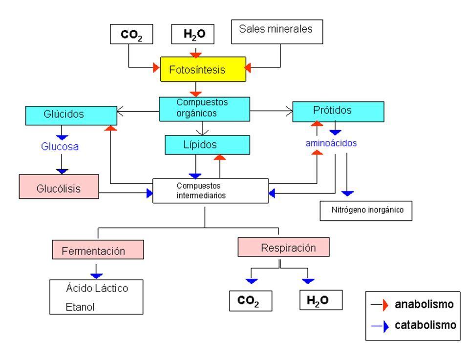 Organismos según la obtención de materia orgánica y energía Autótrofos: obtienen la mat.