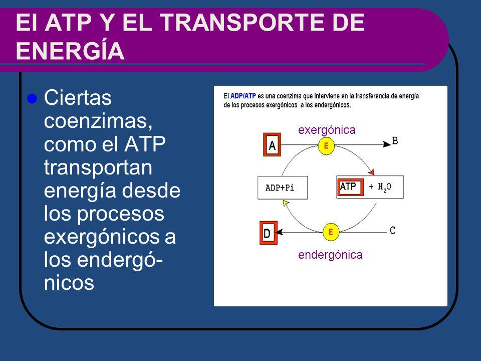 El ATP Y EL TRANSPORTE DE ENERGÍA Ciertas coenzimas, como el ATP transportan energía desde los procesos exergónicos a los endergó- nicos endergónica e