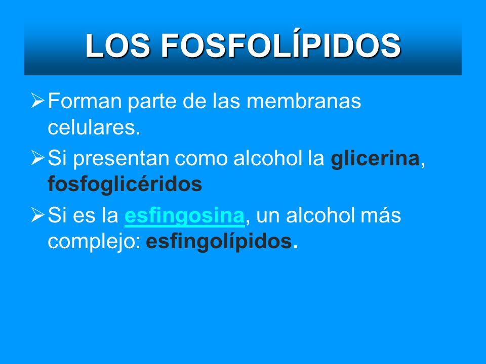 LOS FOSFOLÍPIDOS Forman parte de las membranas celulares. Si presentan como alcohol la glicerina, fosfoglicéridos Si es la esfingosina, un alcohol más