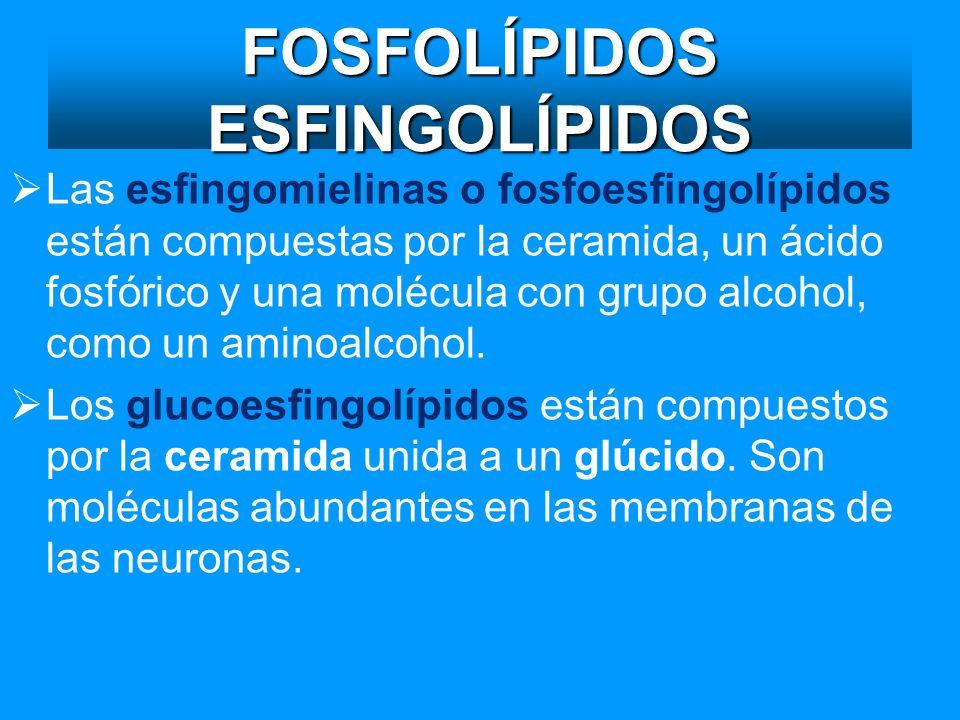 FOSFOLÍPIDOS ESFINGOLÍPIDOS Las esfingomielinas o fosfoesfingolípidos están compuestas por la ceramida, un ácido fosfórico y una molécula con grupo al