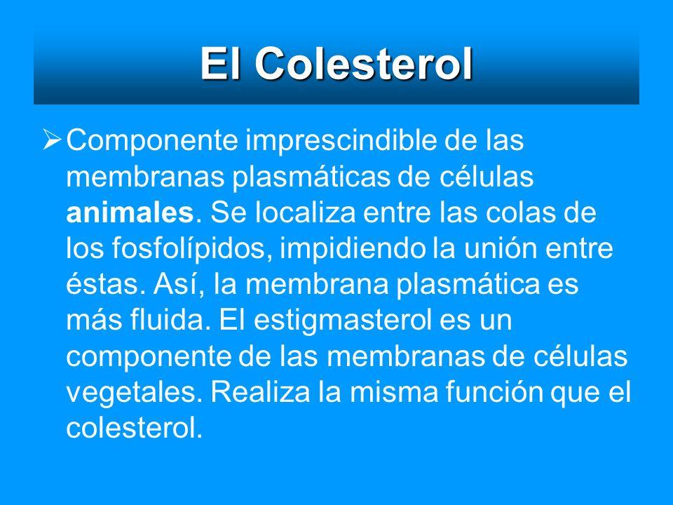 El Colesterol Componente imprescindible de las membranas plasmáticas de células animales. Se localiza entre las colas de los fosfolípidos, impidiendo