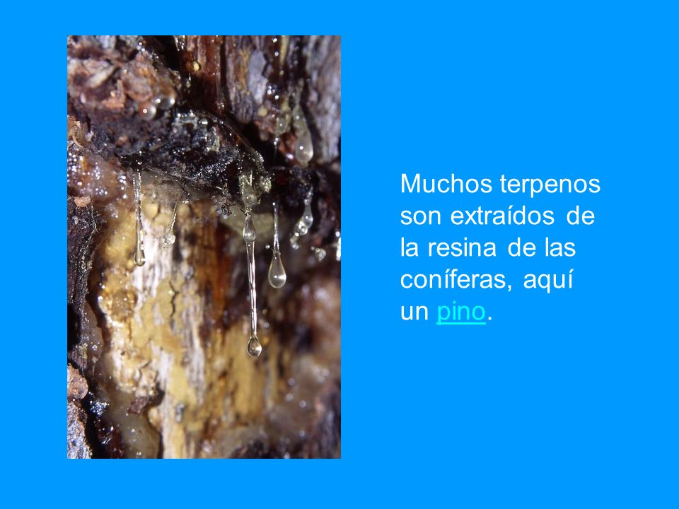 Muchos terpenos son extraídos de la resina de las coníferas, aquí un pino.pino
