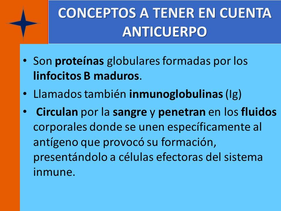 CONCEPTOS A TENER EN CUENTA ANTICUERPO Son proteínas globulares formadas por los linfocitos B maduros. Llamados también inmunoglobulinas (Ig) Circulan