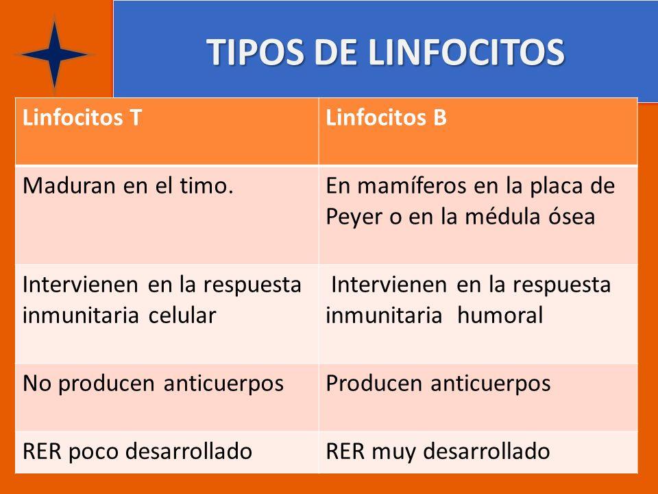 TIPOS DE LINFOCITOS Linfocitos TLinfocitos B Maduran en el timo. En mamíferos en la placa de Peyer o en la médula ósea Intervienen en la respuesta inm