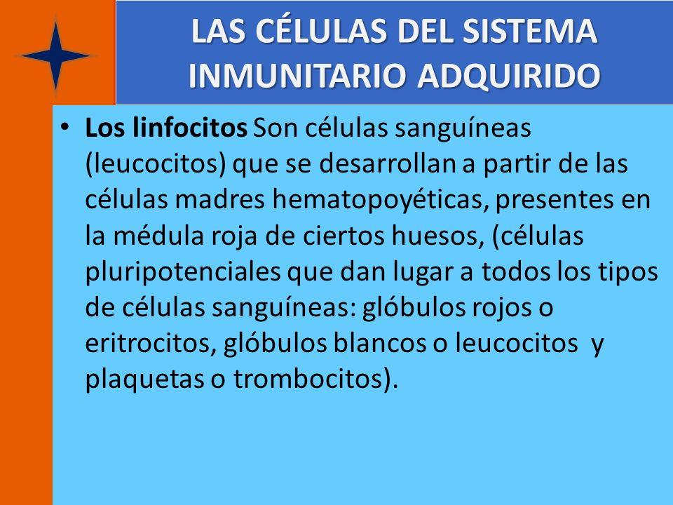 LAS CÉLULAS DEL SISTEMA INMUNITARIO ADQUIRIDO Los linfocitos Son células sanguíneas (leucocitos) que se desarrollan a partir de las células madres hem