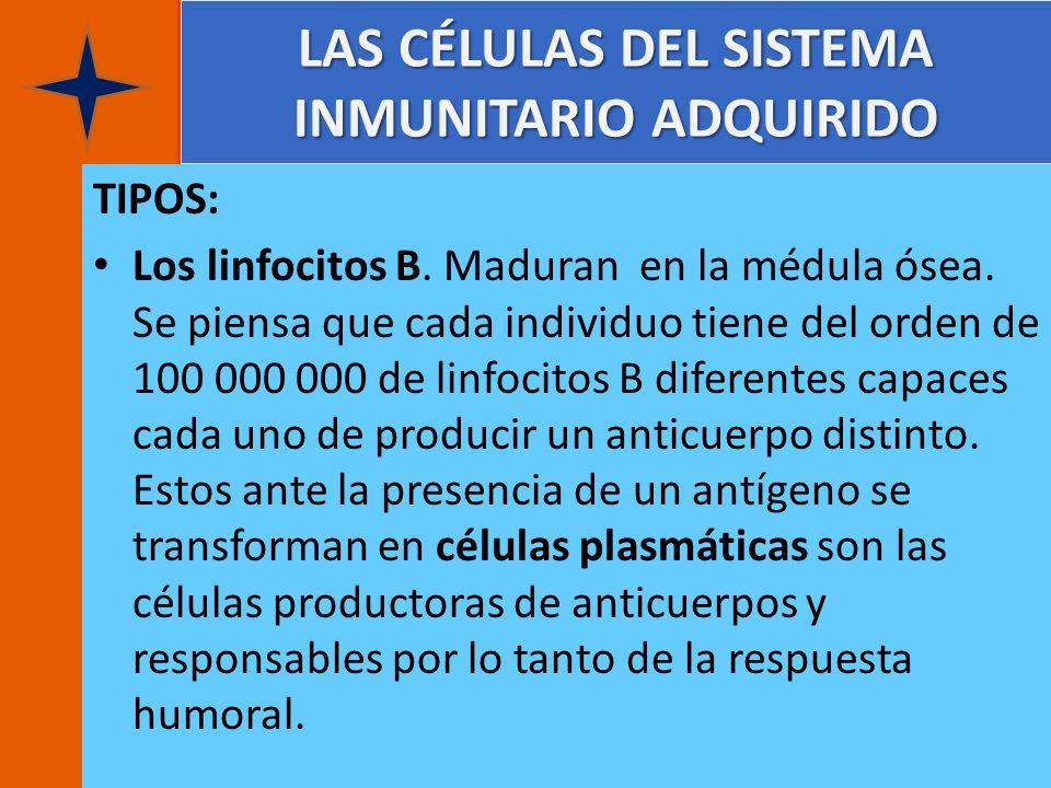 LAS CÉLULAS DEL SISTEMA INMUNITARIO ADQUIRIDO TIPOS: Los linfocitos B. Maduran en la médula ósea. Se piensa que cada individuo tiene del orden de 100