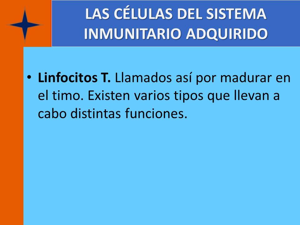LAS CÉLULAS DEL SISTEMA INMUNITARIO ADQUIRIDO Linfocitos T. Llamados así por madurar en el timo. Existen varios tipos que llevan a cabo distintas func