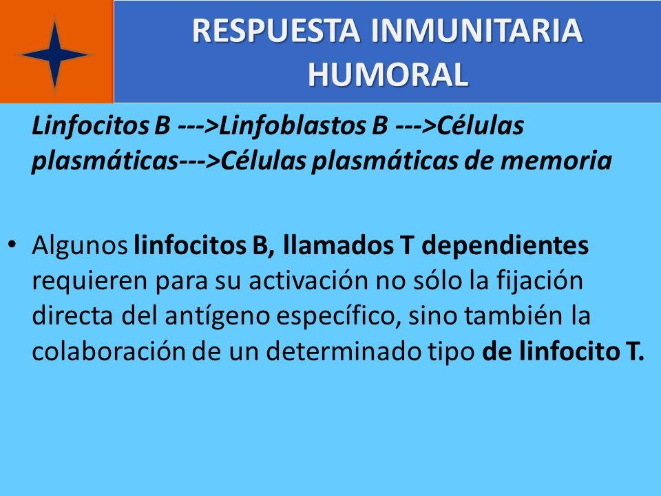 RESPUESTA INMUNITARIA HUMORAL Linfocitos B --->Linfoblastos B --->Células plasmáticas--->Células plasmáticas de memoria Algunos linfocitos B, llamados