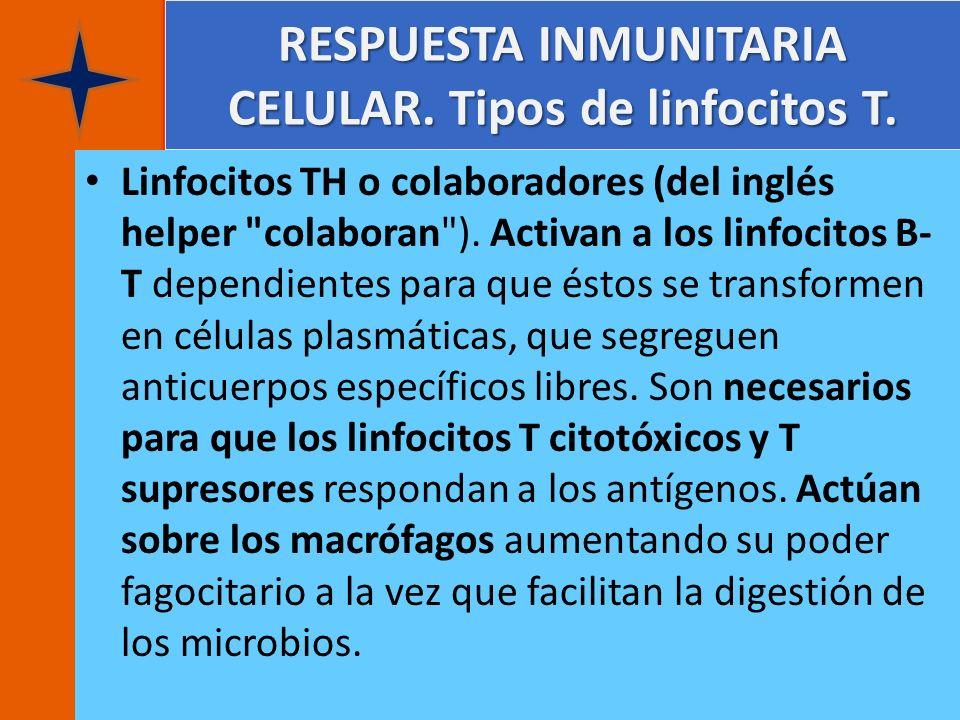 RESPUESTA INMUNITARIA CELULAR. Tipos de linfocitos T. Linfocitos TH o colaboradores (del inglés helper