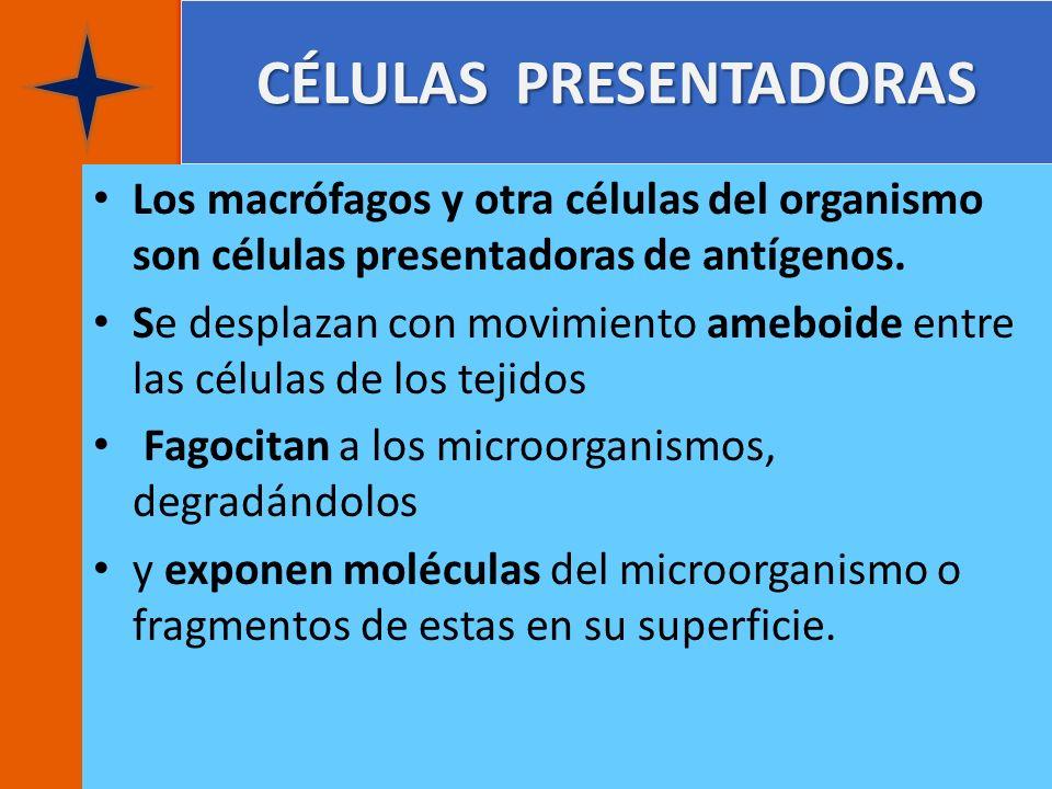 CÉLULAS PRESENTADORAS Los macrófagos y otra células del organismo son células presentadoras de antígenos. Se desplazan con movimiento ameboide entre l