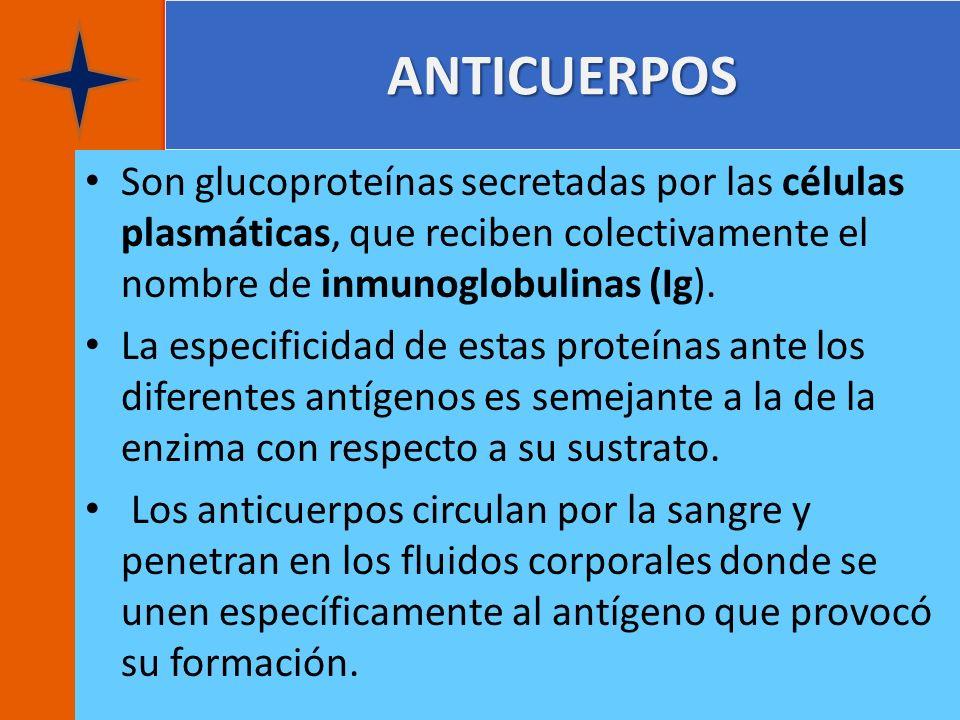 ANTICUERPOS Son glucoproteínas secretadas por las células plasmáticas, que reciben colectivamente el nombre de inmunoglobulinas (Ig). La especificidad