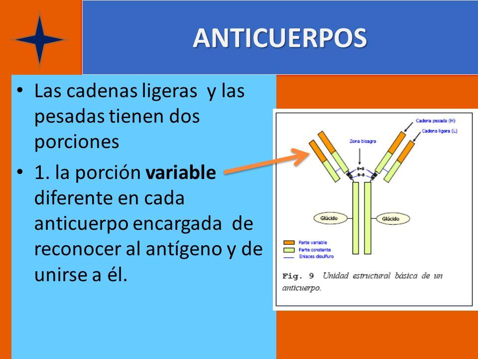 ANTICUERPOS Las cadenas ligeras y las pesadas tienen dos porciones 1. la porción variable diferente en cada anticuerpo encargada de reconocer al antíg