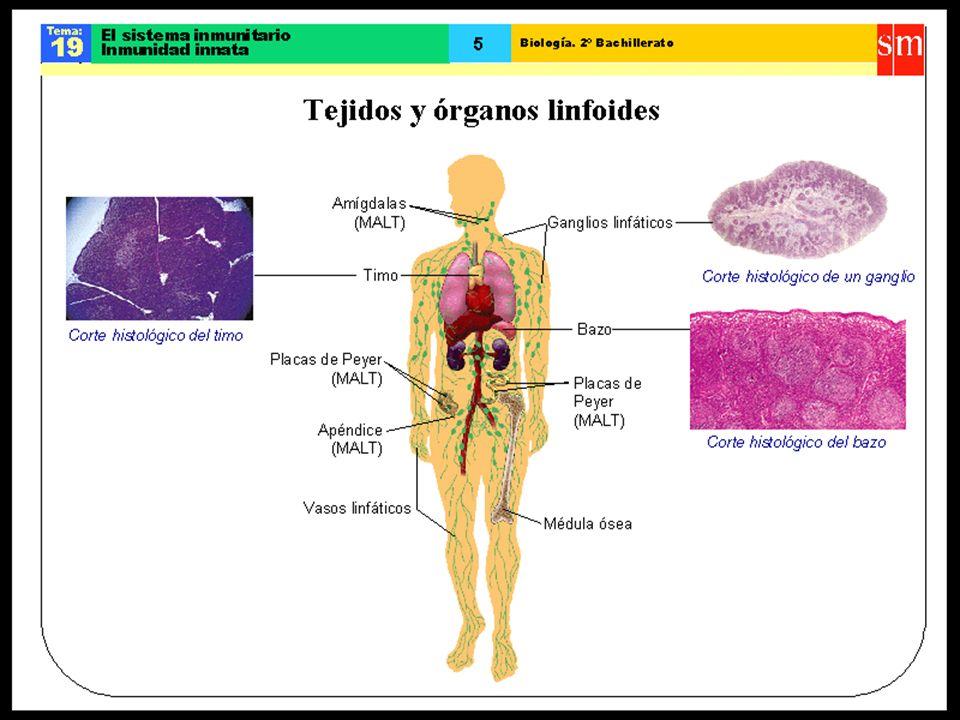 LAS CÉLULAS DEL SISTEMA INMUNITARIO ADQUIRIDO Los linfocitos Son células sanguíneas (leucocitos) que se desarrollan a partir de las células madres hematopoyéticas, presentes en la médula roja de ciertos huesos, (células pluripotenciales que dan lugar a todos los tipos de células sanguíneas: glóbulos rojos o eritrocitos, glóbulos blancos o leucocitos y plaquetas o trombocitos).