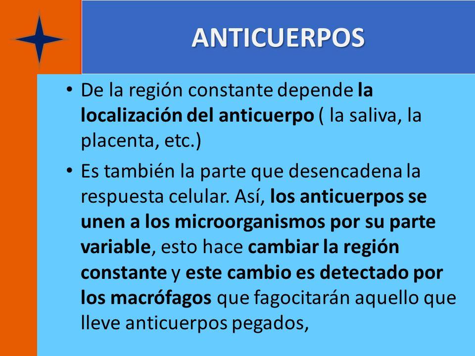 ANTICUERPOS De la región constante depende la localización del anticuerpo ( la saliva, la placenta, etc.) Es también la parte que desencadena la respu