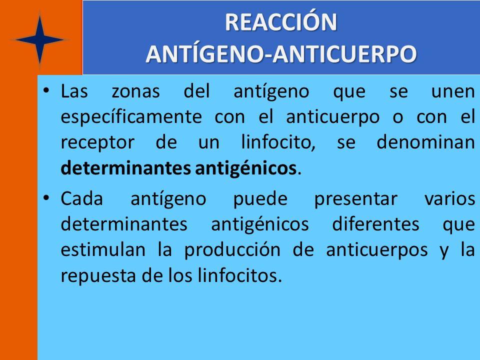 REACCIÓN ANTÍGENO-ANTICUERPO Las zonas del antígeno que se unen específicamente con el anticuerpo o con el receptor de un linfocito, se denominan dete