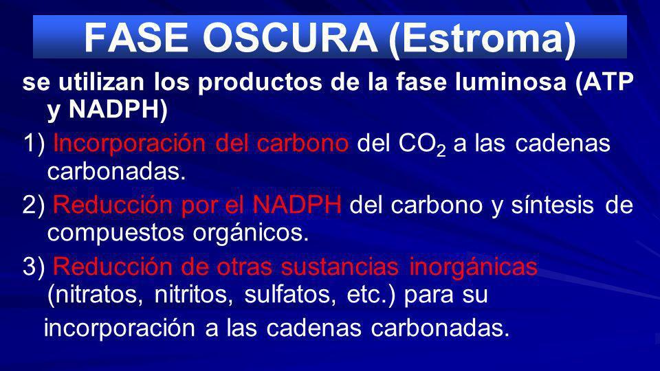 FASE LUMINOSA (Tilacoides) 1) Captación por las clorofilas y otros pigmentos fotosintéticos de la energía luminosa y su transformación en energía quím