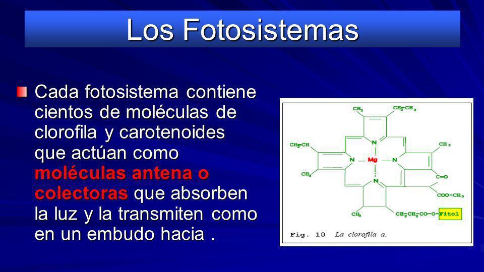 Los Fotosistemas La membrana de los tilacoides tiene una estructura de membrana unitaria. Integradas en su doble capa están: –fotosistemas I (todas) y