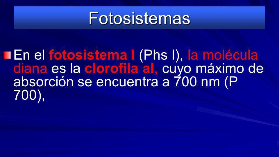 Fotosistemas En el fotosistema II (Phs II) la molécula diana es la clorofila aII que tiene su máximo de absorción a 680 nm (P 680). Cuando esta clorof