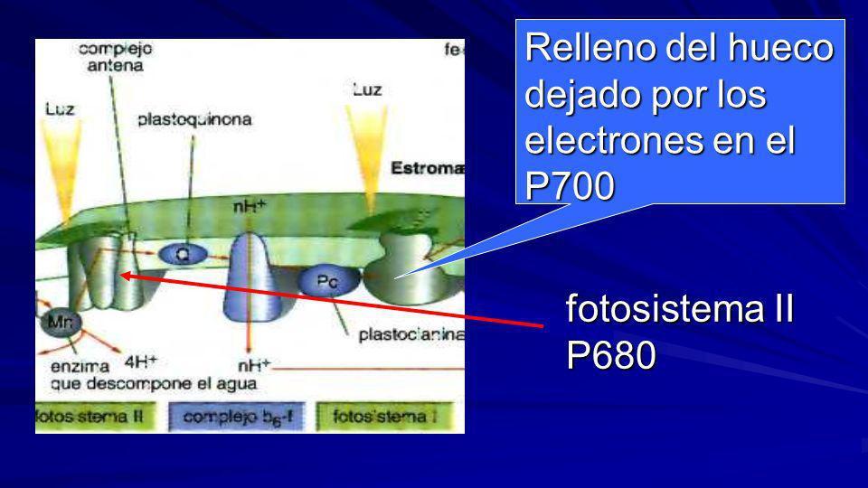 Con 2 e- emitidos por el fotosistema II al ser iluminado por dos fotones el P680, que son captados por una cadena transportadora de e- formada por la
