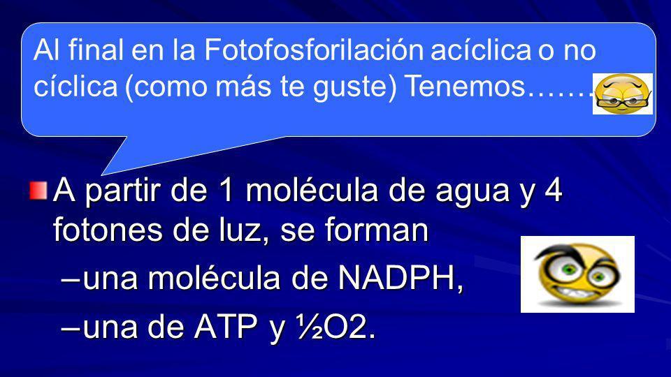 Esta síntesis de ATP recibe el nombre de fotofosforilación no cíclica debido a que el flujo de electrones comienza en la molécula de agua y termina en